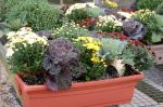 Mums & Cabbage Large Window Boxes