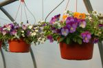 Pansy Combo Baskets