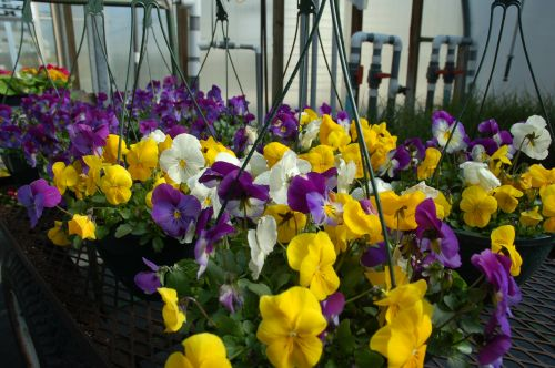 Pansies in Hanging Baskets
