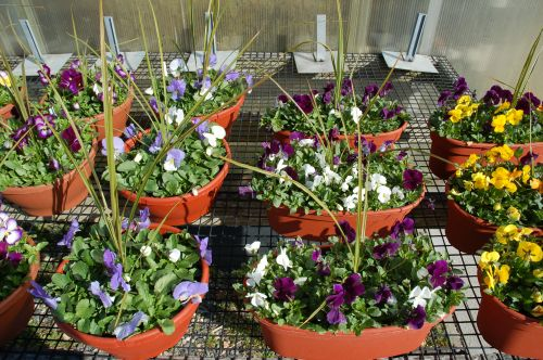 Pansies in Window Boxes and Pots