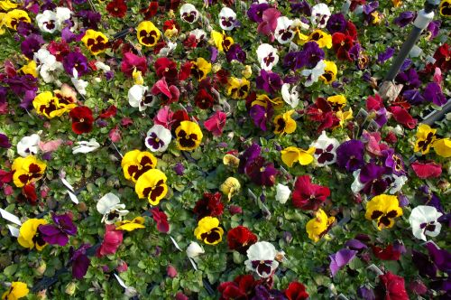 Pansies in Flats