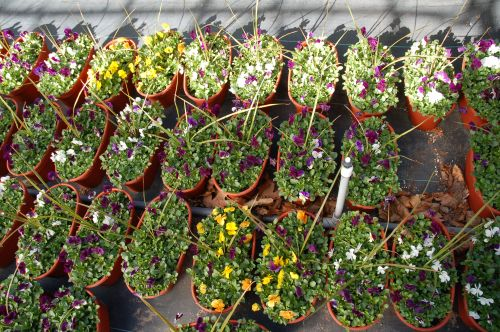 Pansy Window Boxes