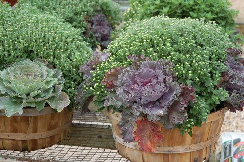 Mums , Cabbage & Kale in Large Bushel Basket