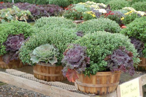 Mums with Cabbage & Kale