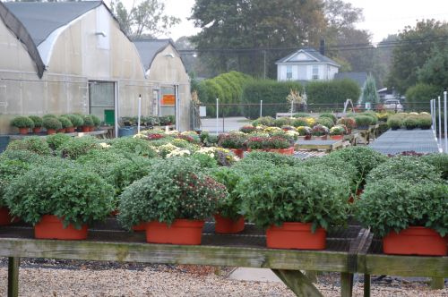 Mums in Small Window Boxes