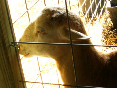 Katahdin Sheep - Deer Creek Farm