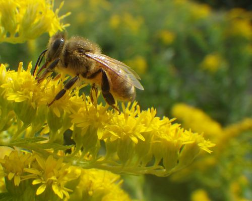 Honeybee with on fall goldenrod