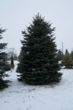16' Colo. Blue Spruces