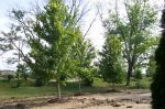 "3- 4"" Maples move 6/16/10"