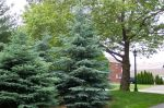 2 colorado blue Spruce 11' +13'