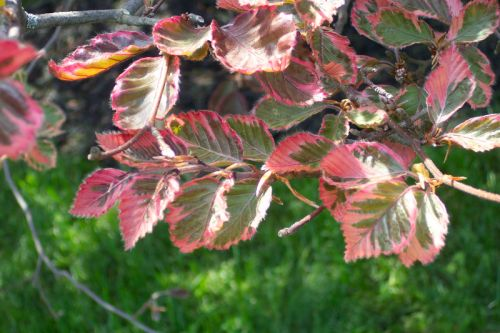tri color beech