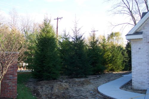 norway spruce screen McCord Rd. Sylvania