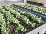 Cabbage Seedlings 1-19-12