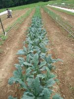 A row of Lacinato Kale