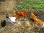 Chickens on the farm...