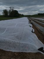 Tomatoes under row cover for frost 5/13/13