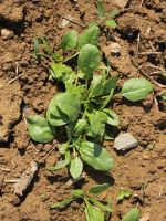 Spinach in field 5/13/13