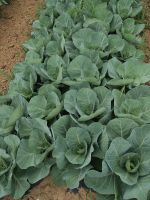 Green Cabbage 6/2/13