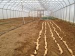 Getting ready to grow sweet potato slips in high tunnel