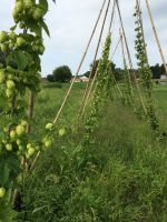 new hops plants grown right on our farm & sold to our homebrewing CSA Members