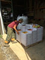 Heirloom tomatoes just in from the field