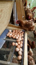 Eggs don't get much fresher than this:)