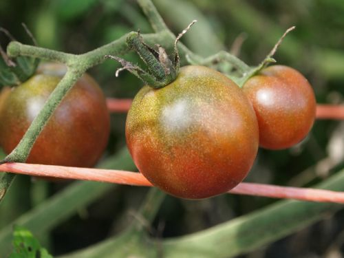Tomatoes of all sizes, shapes, and colors!
