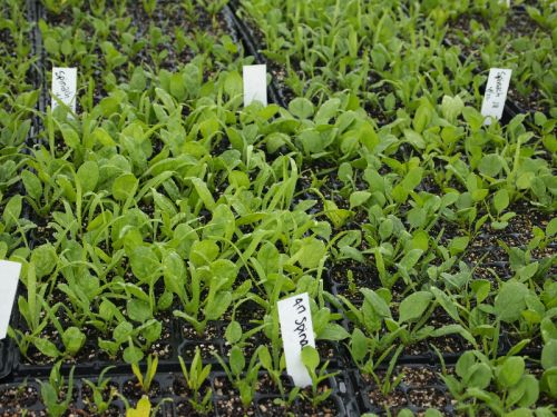 Spinach in greenhouse 5/13/13