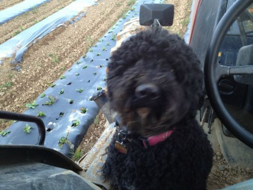New farm dog Murphy, along for the tractor ride 5/15/13