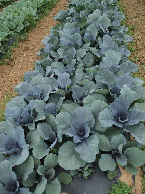 Red Cabbage 6/2/13