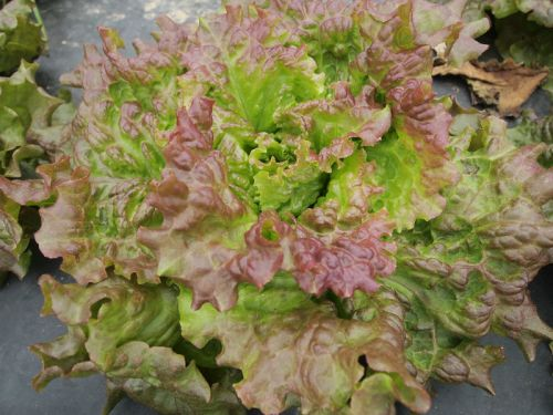 Redleaf Lettuce in Field 6/2/13