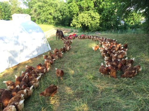 ESF's own pastured chickens