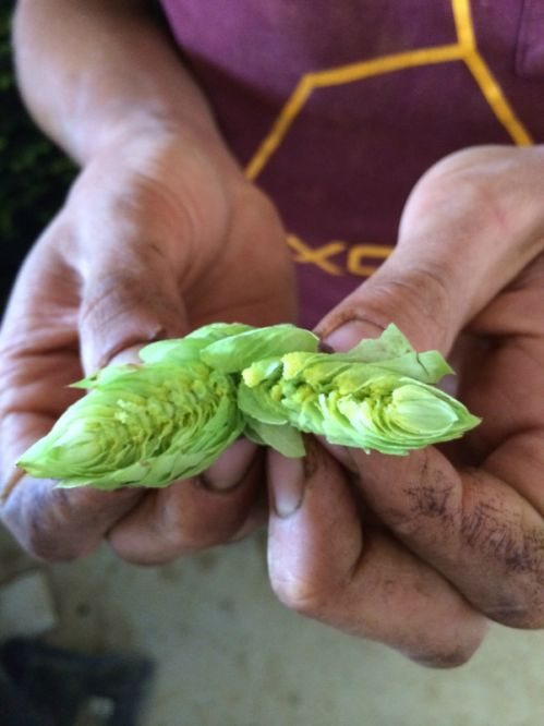 An ESF Cascade hop split open... the fabulous smell will make you thirsty immediately!