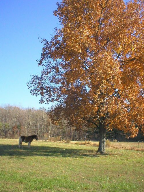 Duffy, our Haflinger,  enjoys a Fall day