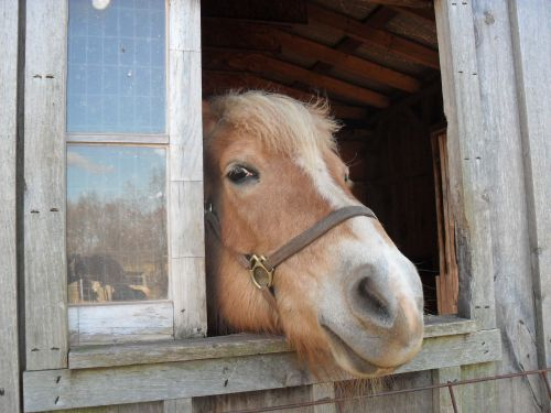 Duffy, our Haflinger, peeks out to say Hi