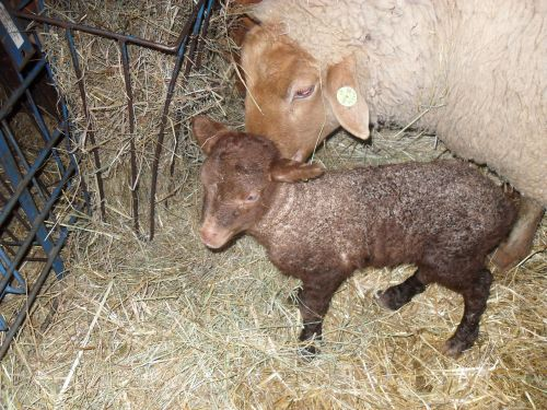 Judy's Ram Lamb - He's got great dark cinnamon color that will look great when he grows his cream colored wool.