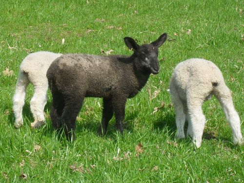 Our only 2011 natural colored lamb