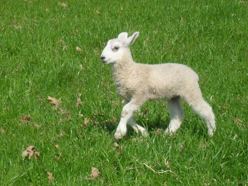 A BFL ewe lamb going out to pasture for the first time - she was soooo happy!