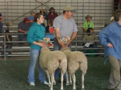 Hannah & Paul showing yearling ewes
