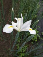 Dutch Iris White