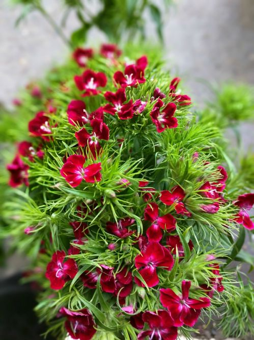 Dianthus, Purple/Red