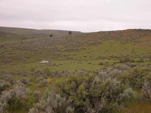 Sagebrush surrounded by spring growth of medusahead near Jordan Valley, Oregon