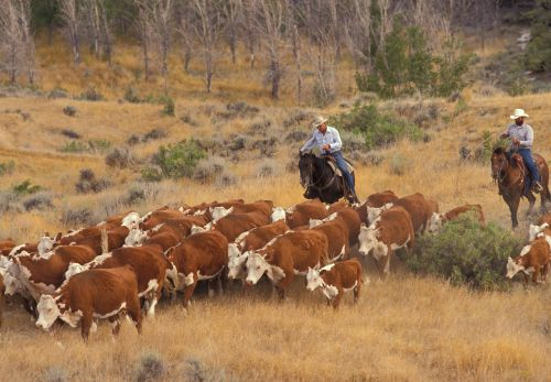 Moving cattle through great basin rangeland
