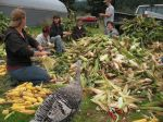 A group of volunteers helps us bring in the corn harvest!