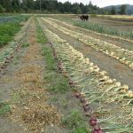 Field curing onions.