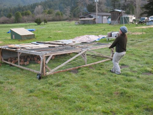 Melanie moves the chicken tractor