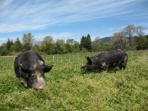 Bert and Naughtia chow down on the pasture and clover
