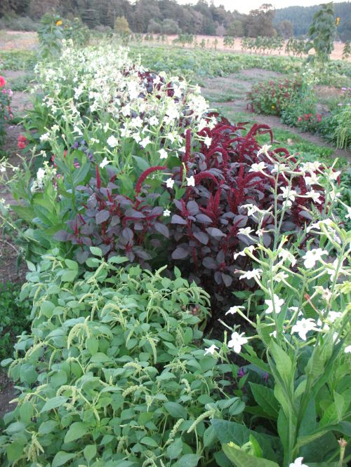 Nicotiana and Amaranth look good together in the garden!