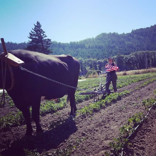 Hilling potatoes on the 4th of July with apprentice, Anna Dozer.