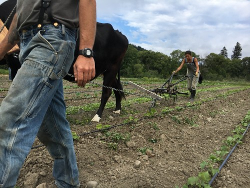 Cultivating cucumbers with oxen power.